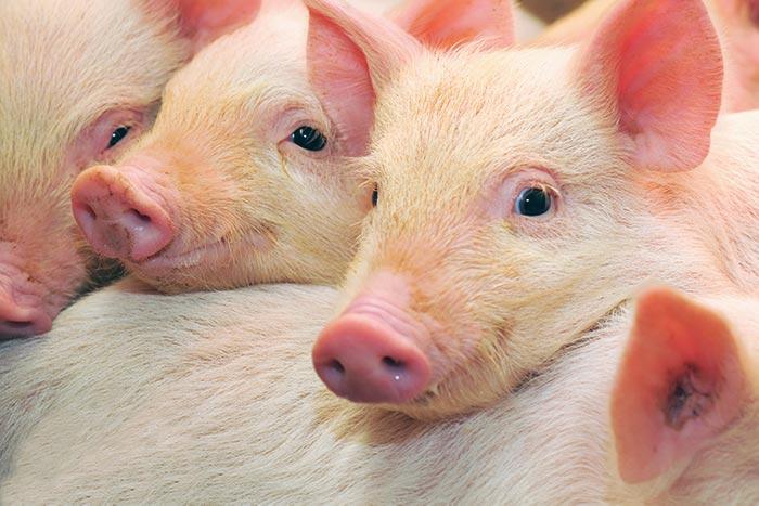 Ongedierte preventie varkenshouderij