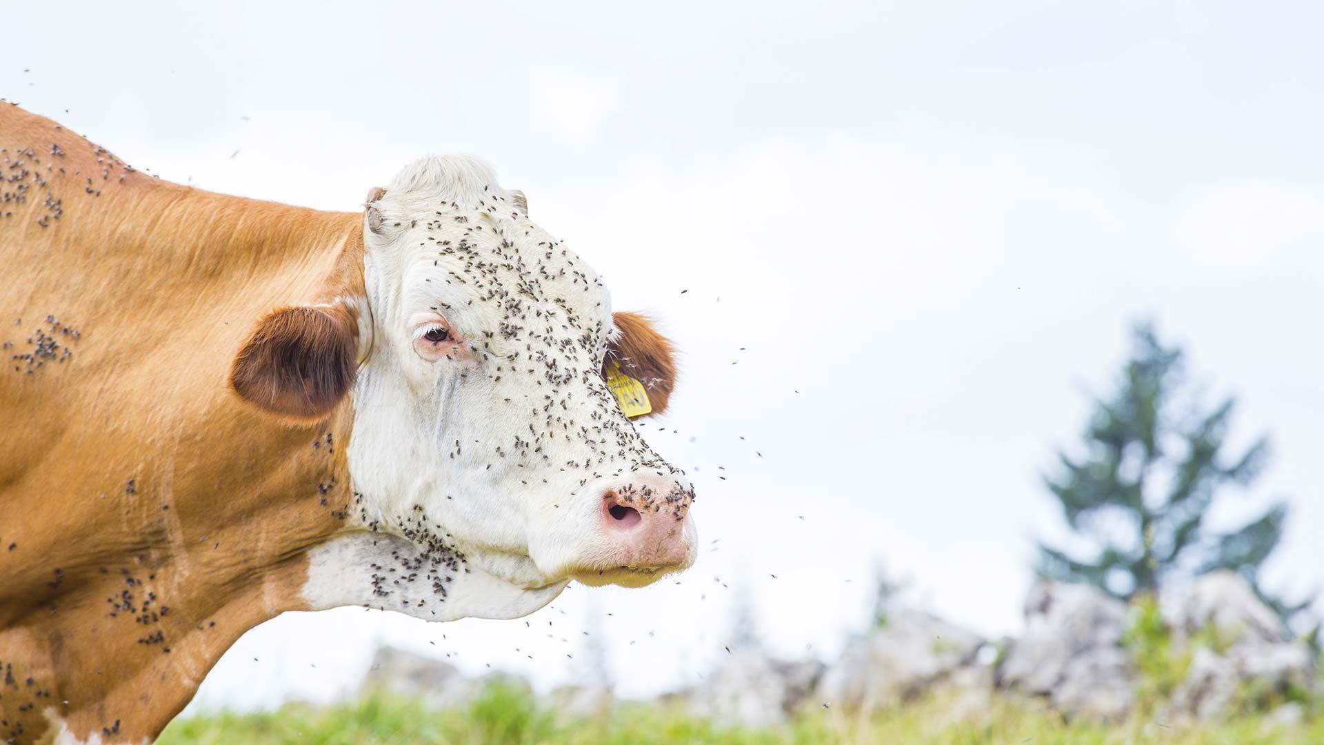 Kuh fliegt unter