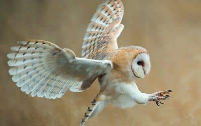 Het aantrekken van roofvogels voor plaagdierbeheersing