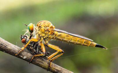 Biologisch vliegen bestrijden, wat zijn de mogelijkheden?
